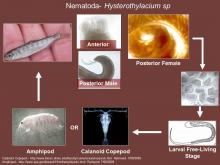 Life cycle of Hysterothylacium sp. (nematode).