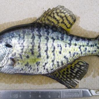 Black crappie fish pathogens for P o fish