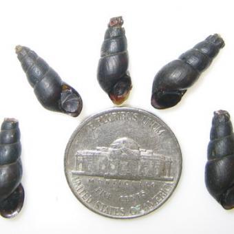 Juga sp. snails.