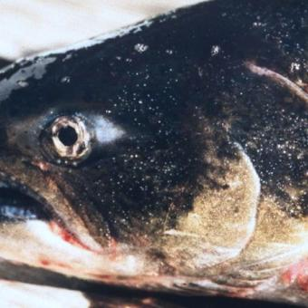 Small white spots are Ich on the skin of Fall Chinook salmon.