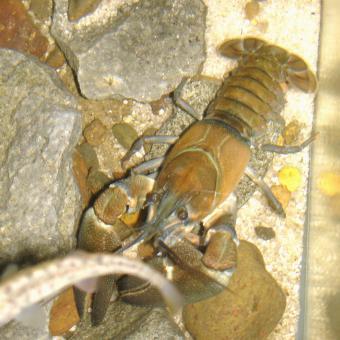 Native Oregon crayfish (signal crayfish?).