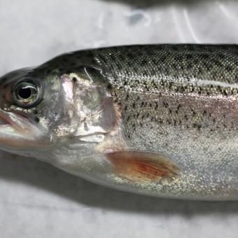 Hatchery-reared rainbow trout