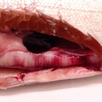 Fish intestine showing swelling and pale lesions due to C. shasta infection