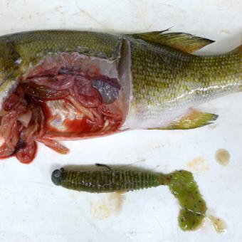 Lure from stomach of smallmouth bass.