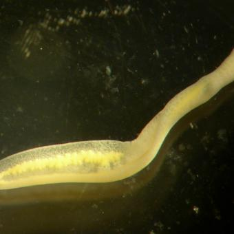 Clinostomum metacercaria after emerging from the fish host.