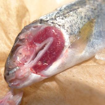 Dissected steelhead trout showing glochidia attached to gills (white spots)