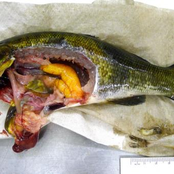 Dissected smallmouth bass.