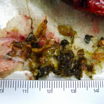 Stomach contents of bluegill.
