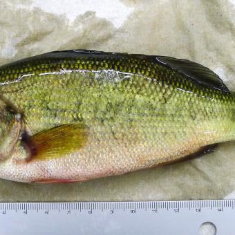 Normal looking largemouth bass.
