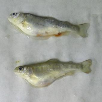 Juvenile rainbow trout showing signs of C. shasta infection.