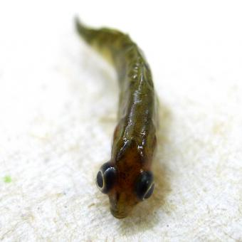 Stickleback with eyes grossly distended due to trematode metacercariae.