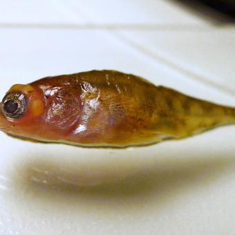 Stickleback with eyes grossly distended due to metacercariae.