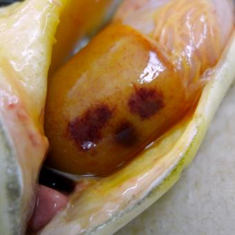 Fish liver showing dark red lesions due to C. shasta infection.