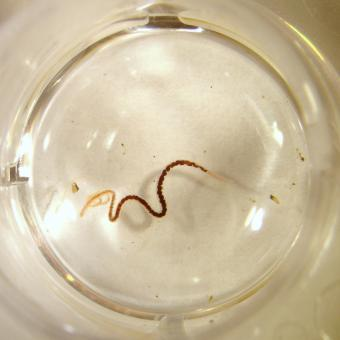 Tubifex worm in cell-well plate.