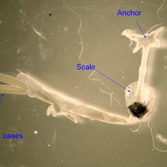 Adult anchor worm with main parts annotated.