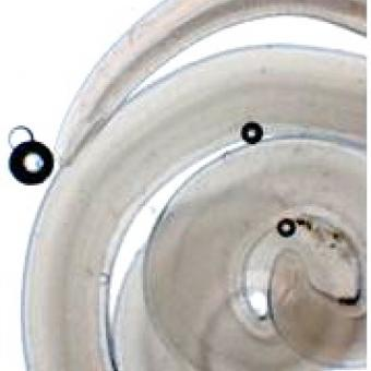 Anisakis simplex nematode.