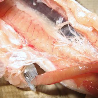 Adult Salvelinema nematodes in muscle of host.