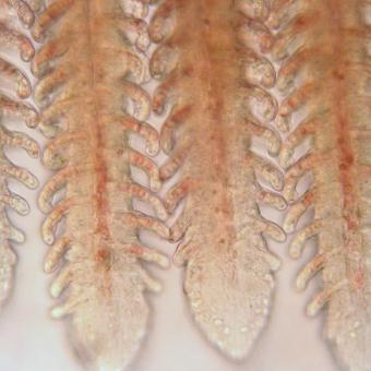 Low magnification image of a normal fish gill.